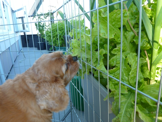 Cayman helps prune my terrace garden