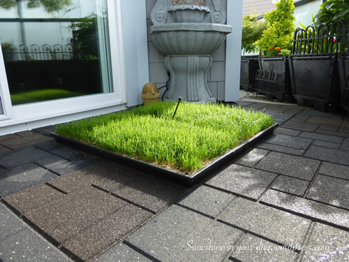 Cayman ~ building a grass potty for our pooch | Sunshine ...